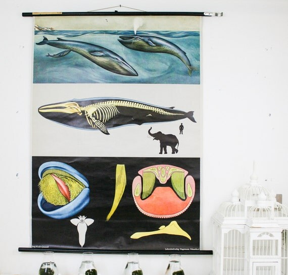 vintage pull down map whale genuine vintage school chart, german make zoology print