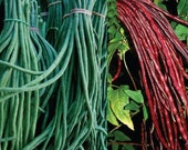 Organic Heirloom Red Noodle & Green Yard Long Asparagus Bean Seeds DOUBLE Pack