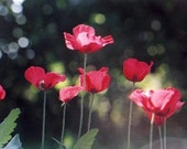 Flanders Poppy Annual Heirloom Seeds Falling In LOVE Mix