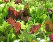 Mesclun Mix for Cool Season Spring and Fall Exclusive Custom Organic Heirloom Summertime Salad Greens Mix Gourmet Seeds
