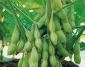 SALE! Soybeans Butterbean Early Variety Organically Grown Heirloom Rare Always NON GMO Seeds