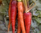 Organic Heirloom Atomic Red Carrot Seeds RARE