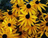 CLEARANCE SALE Heirloom Black Eyed Susan Water Wise Perennial Flower Seeds