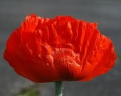 SALE Oriental Orange Poppy Perennial Seeds Enormous Rare Springtime Blooms on Sturdy Large Plants