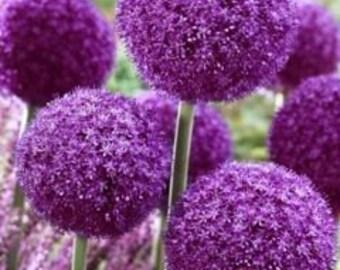 Allium Gigantic