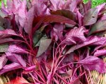 Organic Heirloom Garnet Red Amaranth Seeds