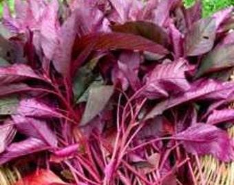 Organic Heirloom Garnet Red Amaranth Seeds