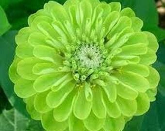 Green Zinnias Annual Cutting Garden Flower Seed Heirloom Cottage Flower Cut Flower Benary's Rare Seeds