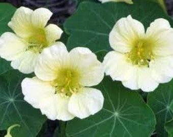 Heirloom Flowers Nasturtium Moonlight Edible Flower Plant and Seeds