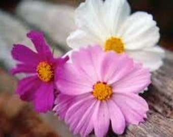 HALF PRICE Clearance SALE Heirloom Cosmos Flower Sensation Mix Seeds