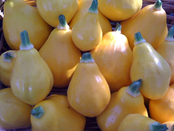 Lemon Summer Squash Very Easy to Grow Prolific Medium Vines Excellent Mild Flavor Quick Crop Organically Grown Rare Gourmet Seeds