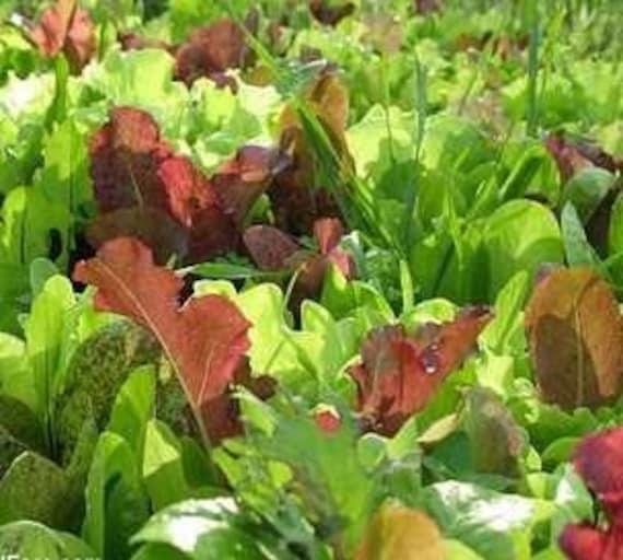 Heat Tolerant Mesclun Mix Exclusive Custom Organic Heirloom Summertime Salad Greens Mix Gourmet Seeds