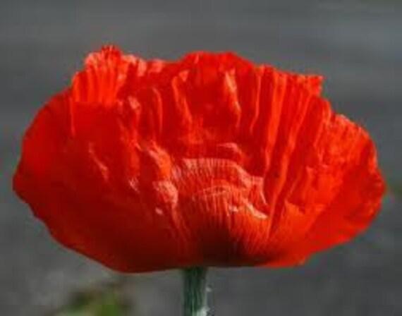 SALE Oriental Orange Poppy Perennial Seeds Enormous Rare Springtime Blooms on Sturdy Large Plants