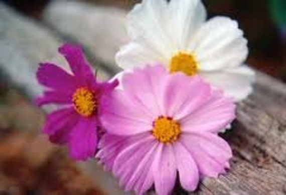 CLEARANCE SALE! Cosmos Clearance Annual Heirloom Flower Sensation Mix Seeds