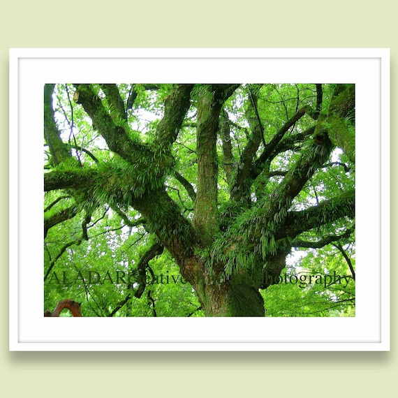 "Modern Home Decor Wall Art Green Spring Feng Shui Tree "" / Sketches from Kyoto""  Zen Digital Print - fine art photography 8""x 10"""