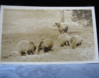 Antique Photo Grizzly Bear Family Haynes Yellowstone Park