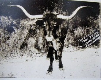 Antique Postcard Texas Longhorn Cow Doubleday