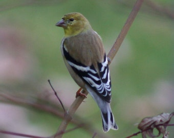 American goldfinch: 5 x 7 photograph CHARITY DONATION