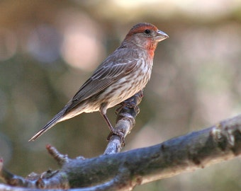 House finch, 5 x 7 photograph CHARITY DONATION