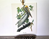 Audubon vintage bird print - Brown Pelican