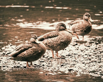 Animal photography, 3 ducks 8x10 rainy day photograph - nature photography
