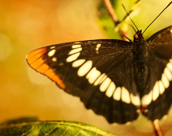 Nature photography, Orange Black and White Butterfly 8x10 photograph