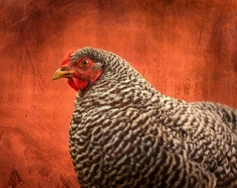 Animal photography, Red Barn Barred Rock Chicken, 8x10 photograph rustic