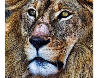 Wildlife Series Two: Lion