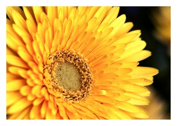 Nature Series Two: Yellow Gerbera Daisy