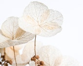 "Dried Hydrangea Still Life Modern Florals Photography 5"" x 5"" Archival Print Fresh Creamy Whites Shabby Chic                      Taupe Soft"