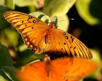 Two Butterflies Orange Autumn nature photography dancing butterflies photobysimone