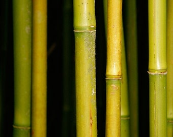 Bamboo Forest green bamboo 10x15 fine art nature photography home decor
