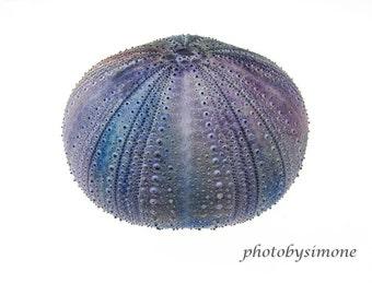 Tie dye lavender indigo urchin white background macro bumps photography