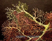 Detail of a Giant Gargonian ORIGINAL colored pencil drawing