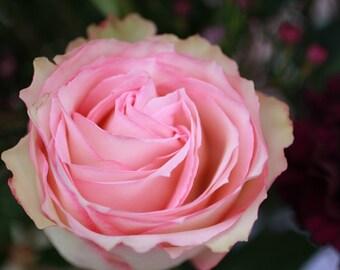Light Pink Petaled Rose