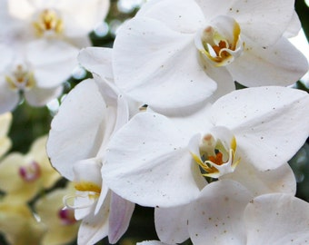 White Orchid Flower Photograph Wedding and Home Decor New Baby Gender Neutral Nursery Decoration