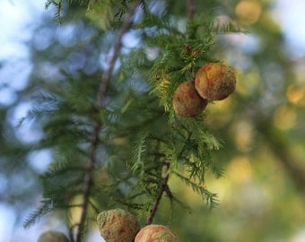 Evergreen Tree Branch Photograph Color Photography Digital Download Home or Office Decor