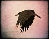 Flight of Change... Crow photograph, 8 x 10 inches photo, print