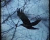 Mystery... Crow photograph, 8 x 8 inches photo, print, bird in flight, corvid, totem animals, shapeshifter, black bird
