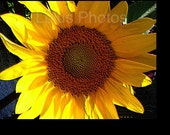 Sunflower Collection - A Ray of Sunshine, Flower Photography, Cards and Prints