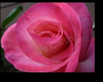 Pink Rose, Flower Photography, Pink Rose Collection