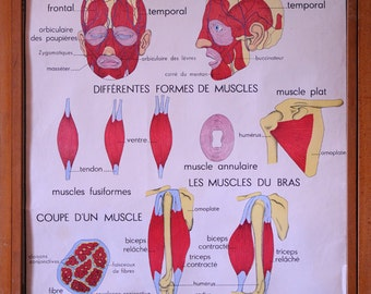 Stunning Vintage French School double-sided poster of Muscles and Posture