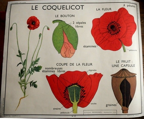 Stunning Vintage French School double-sided poster of a Poppy and a Gilly flower