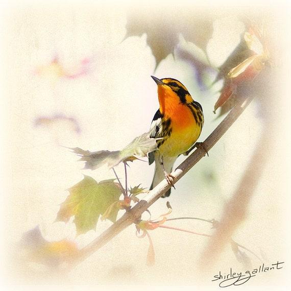 Blackburnean Warbler 8x8 Fine Art Print