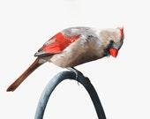 Cardinal painting  - C003- watercolor painting archival print A4 wall art print - bird art print