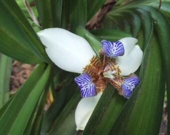 Neomarica Gracilis Walking Iris Plant Sale, Grow Your Own Organic Eight Inch Twelve Apostles Plant