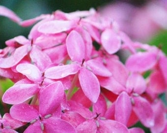Ixora, Pink Flower Photography, Tropical Decor