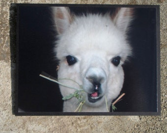 White Baby Alpaca Cria Face Close Up Photograph Greeting Card