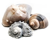 Seashell Soap - Decorative Gift Soap in Neutrals
