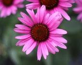 how to take echinacea drops